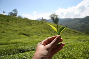 té verde orgánico